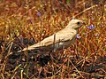 Pale rockfinch (ഇളം പാറക്കുരുവി ) - 9.jpg