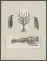 Palinurus guttatus - - Print - Iconographia Zoologica - Special Collections University of Amsterdam - UBAINV0274 096 16 0006.tif