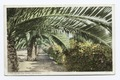 Palms and Roses, California (NYPL b12647398-73925).tiff