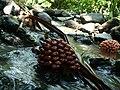 Pandanus fruits.jpg
