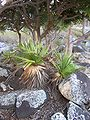 Pandanus heterocarpus 10 (young plants).jpg