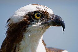 Pandion haliaetus -San Francisco Bay, California, USA -head-8.jpg
