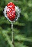 Papaver rhoeas - flower bud (KK).jpg