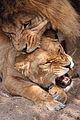 Parende Leeuwen.jpg