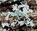 Parmelia sulcata (EU).jpg