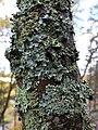 Parmelia sulcata 101577098.jpg