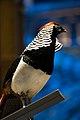Partridge (24192674287).jpg