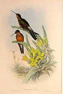 オオハチドリ's relation image