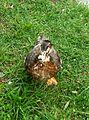 Pato duck.jpg