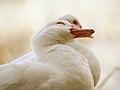 Pato mirando arriba (8209787141).jpg