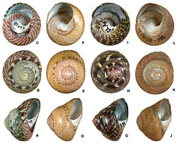 Patterns of shell colour within the genus Oxystele - ZooKeys-365-337-g004.jpg
