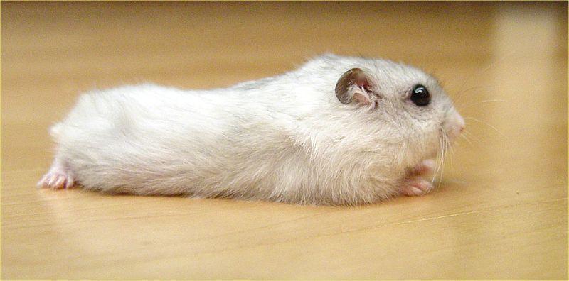 File:Pearl Winter White Russian Dwarf Hamster - Side.jpg