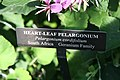 Pelargonium cordifolium 0zz.jpg