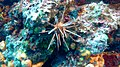 Pencil urchin 2.jpg