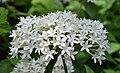 Pentas lanceolata Flowers.JPG