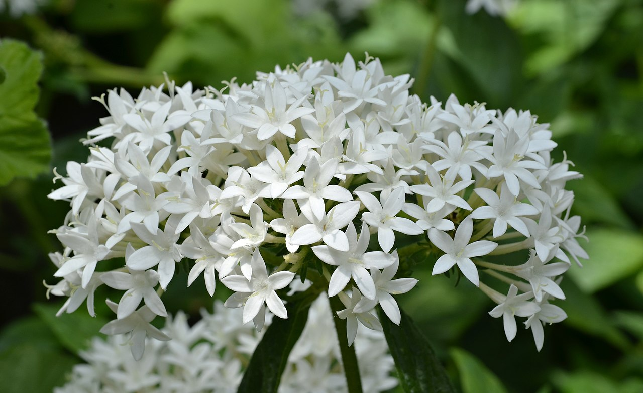 Filepentas lanceolata flowersg wikimedia commons filepentas lanceolata flowersg mightylinksfo