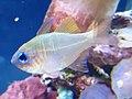 Percoidei - Zoramia leptacantha - 2.jpg