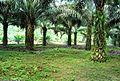 Perkebunan kelapa sawit milik rakyat (16).JPG