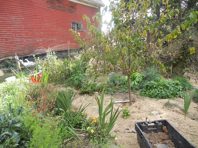 File:Permaculture garden with a fruit tree, herbs, flowers and vetetables mulched with hay.JPG