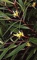 Persoonia silvatica.jpg