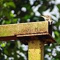 Petronia xanthocollis,yellow-throated sparrow.jpg