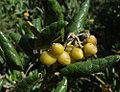 Peumus boldus, fruit (8655729366).jpg