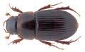 Pharaphodius discoidalis neghellinus (Balthasar, 1939) (32435562970).png