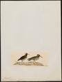 Phegornis mitchellii - 1820-1860 - Print - Iconographia Zoologica - Special Collections University of Amsterdam - UBA01 IZ17200265.tif