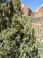 Phoradendron juniperinum kz10.jpg