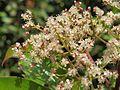 Photinia integrifolia at Mannavan Shola, Anamudi Shola National Park, Kerala (14).jpg