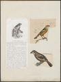 Phytotoma rara - 1700-1880 - Print - Iconographia Zoologica - Special Collections University of Amsterdam - UBA01 IZ16600261.tif
