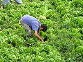 Picking Lettuce in Artas, West Bank, Palestine.jpg