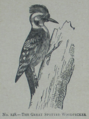 Picture Natural History - No 128 - The Great Spotted Woodpecker.png