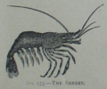 Picture Natural History - No 235 - The Shrimp.png