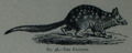 Picture Natural History - No 48 - The Dasyure.png