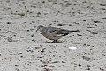 Picui Ground-Dove (Columbina picui) (8077557765).jpg