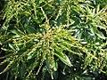 Pieris japonica Dorothy Wyck 1zz.jpg