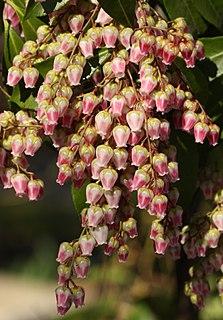 <i>Pieris</i> (plant) Genus of flowering plants in the heath family Ericaceae