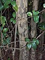 Pigeon Plum bark (5604519474).jpg