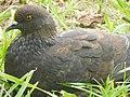 Pigeon biset (columbidé).jpg