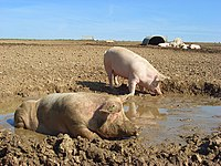 Pigs, Chilton Foliat - geograph.org.uk - 987903.jpg