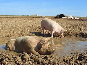 Wallowing in animals - Domestic pigs wallowing