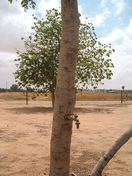 עץ הברז