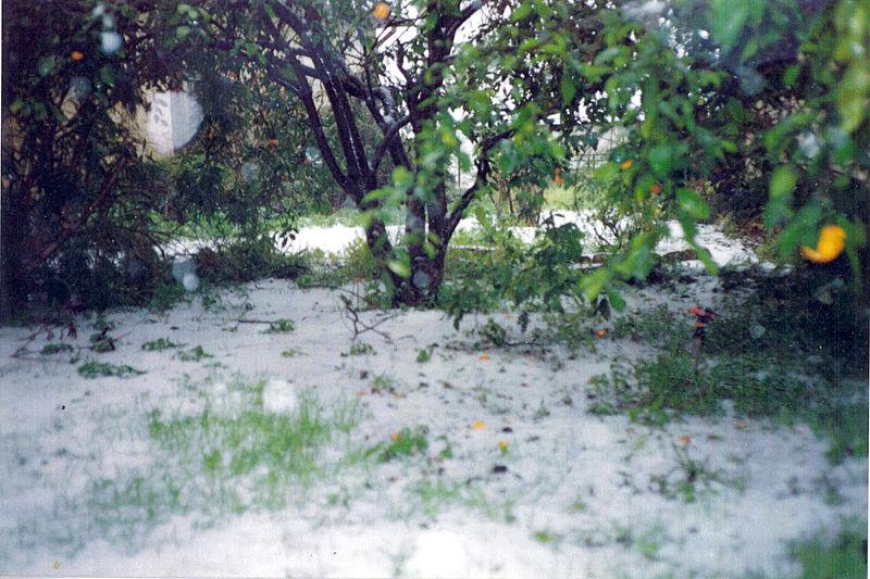 הברד למרגלות פרי ההדר בחצר של פוטרמן