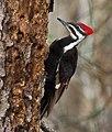 Pileated Woodpecker (9597212081), crop.jpg