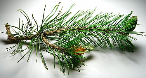 Pine twigs with cones and green needles