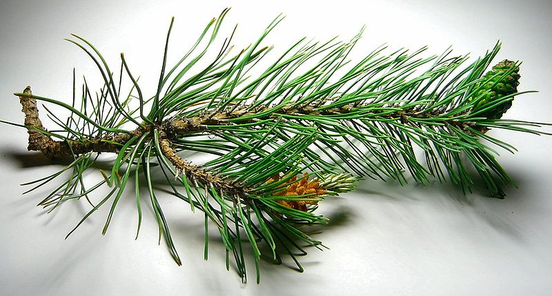 File:Pine cones, male and female.jpg