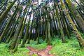 Pine trees Darjeeling.jpg