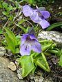 Pinguicula vulgaris, Japan 1.JPG