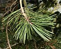 Pinus-NeedleDetail.jpg